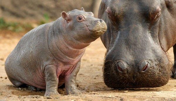 B 233 B 233 Hippopotame